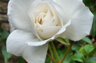Una vita… di rose
