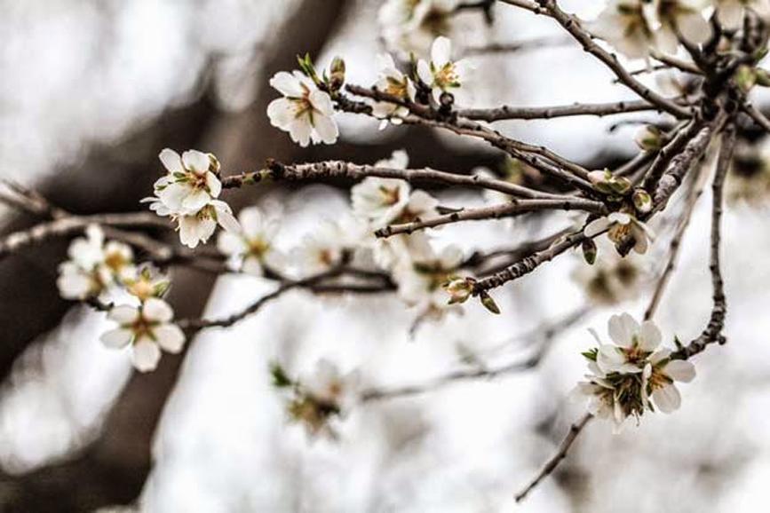 Di fine inverno, libri, e mandorli in fiore
